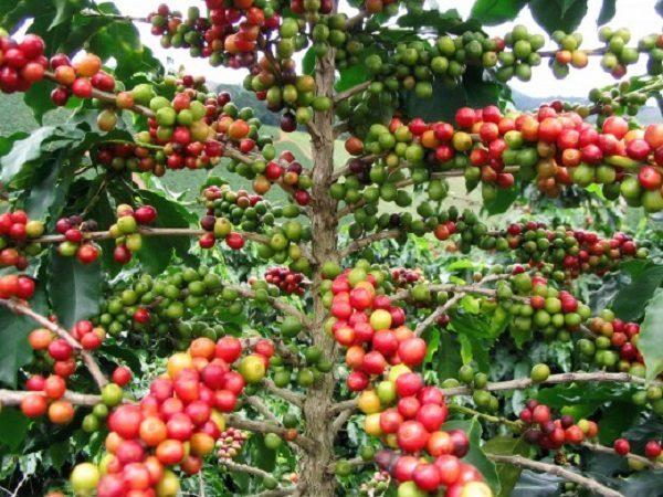 Cây cà phê đang tới mùa chín