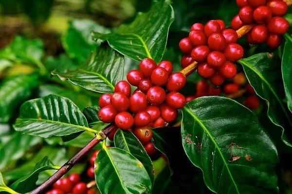 Quả cà phê chuyển đỏ khi chín